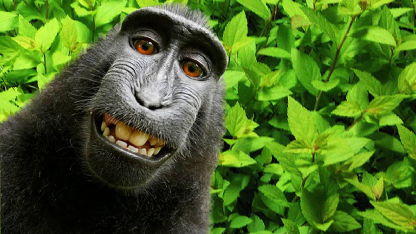 101939893-Monkey-selfie